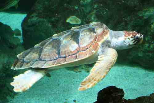 tortues Caouannes