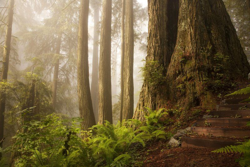 Redwood forest in the fog
