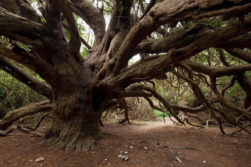 Ancient Yew Tree, Kingley Vale NNR